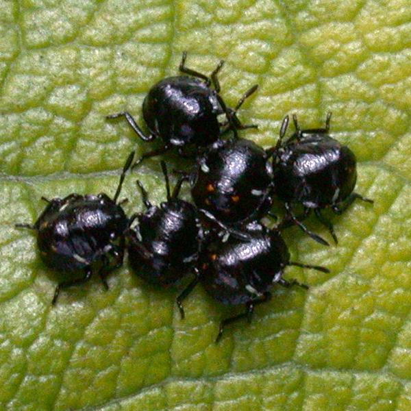 Nezara viridula young nymphs
