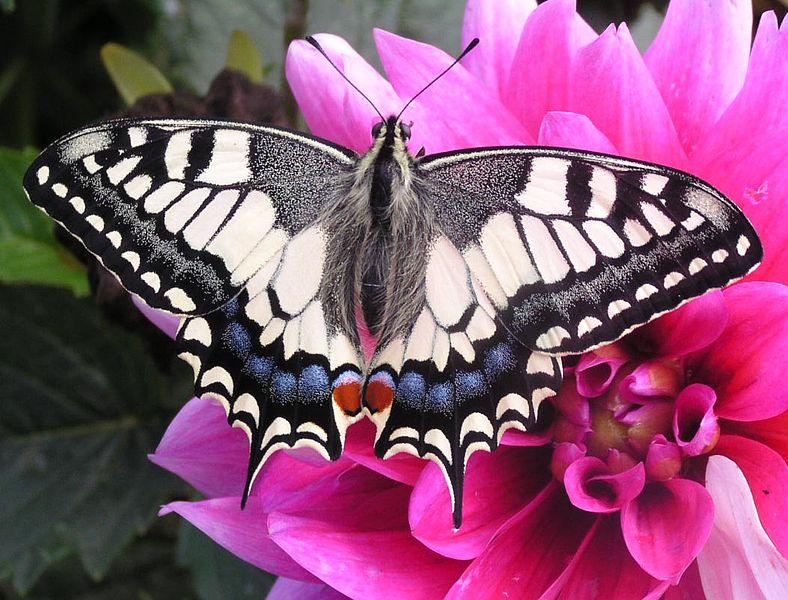 Papilio machaon gorganus