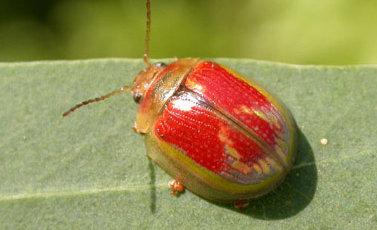 Paropsisterna selmani