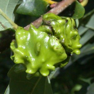 Andricus quercuscalicis