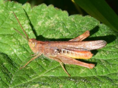 Chorthippus brunneus