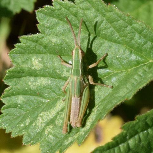 Chorthippus paralellus
