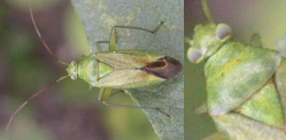 Closterotomus norvegicus
