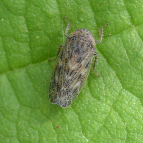 Conosanus obsoletus