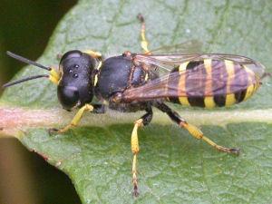 Ectemnius sexcinctus