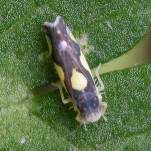 Eupteryx vittata
