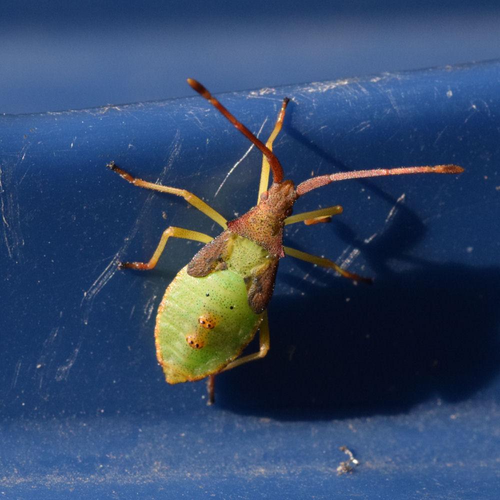 Gonocerus acuteangulatus nymph