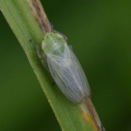 Graphocraerus ventralis