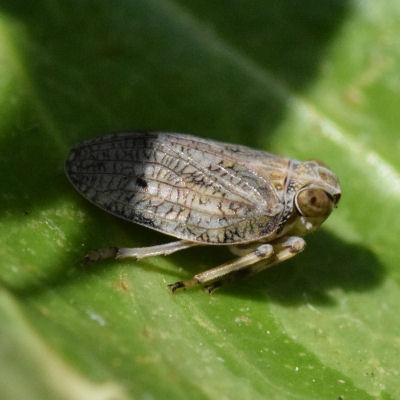 Issus coleoptratus adult