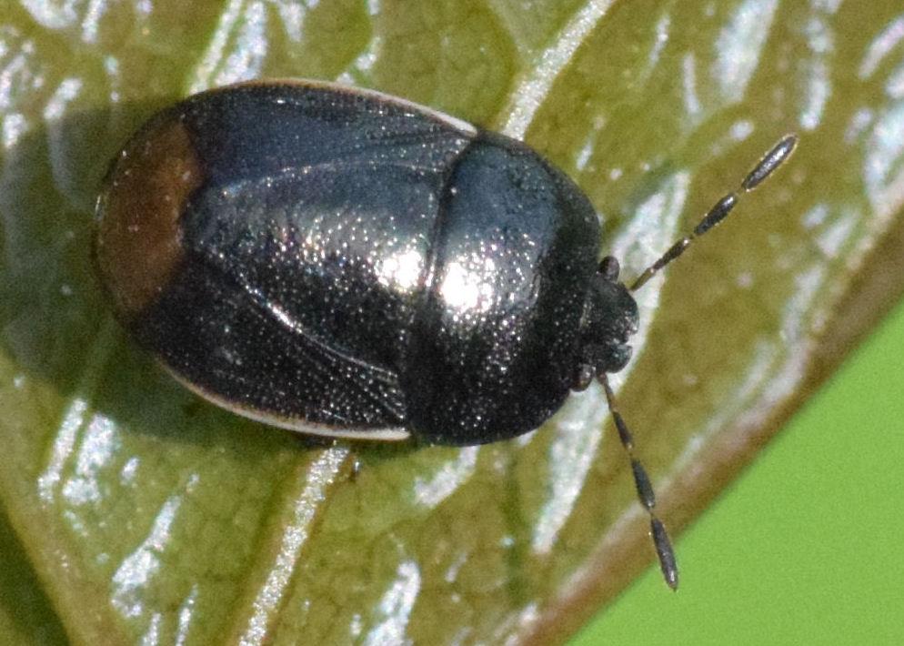 Legnotus limbosus