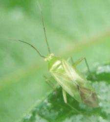 Lygocoris pabulinus