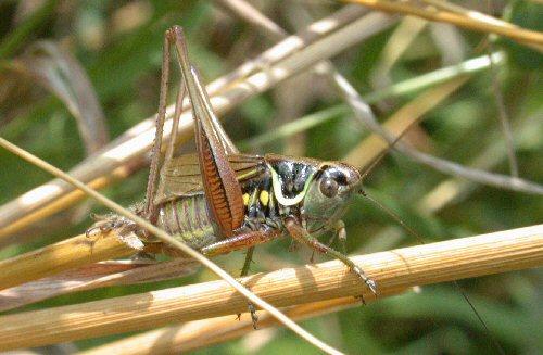 Metrioptera roeselii